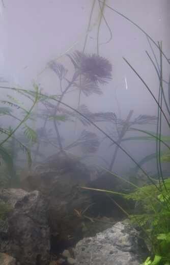 Bacteriebloei aquarium