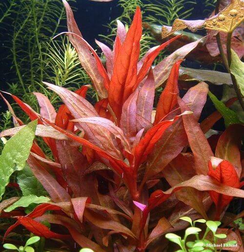aquariumplant rood makkelijk