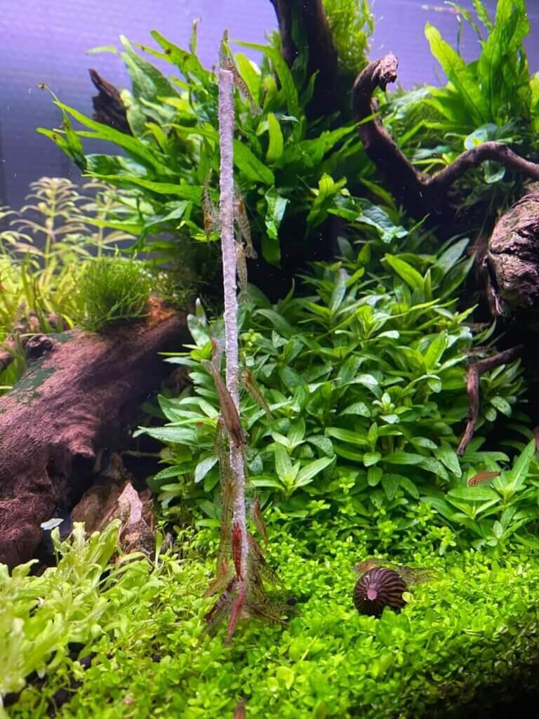Garnalen en slakken in een vissenkom