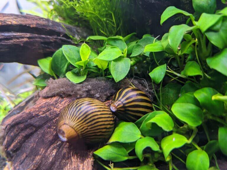 zebraslak aquarium